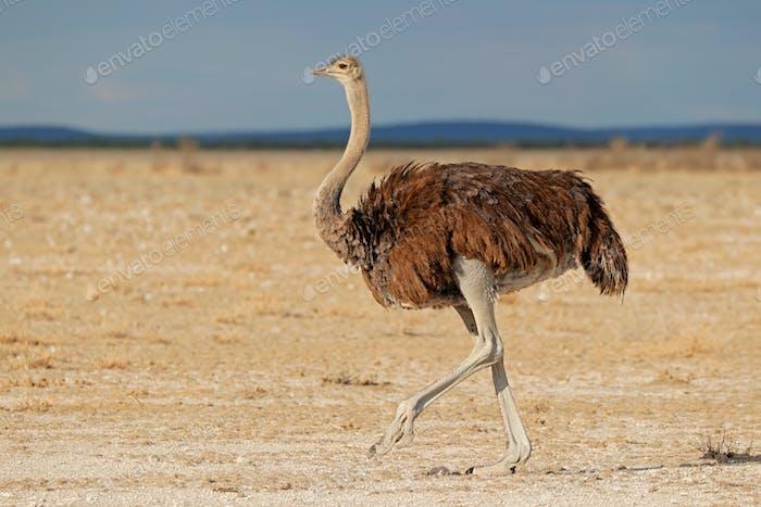 Female ostrich in desert landscape