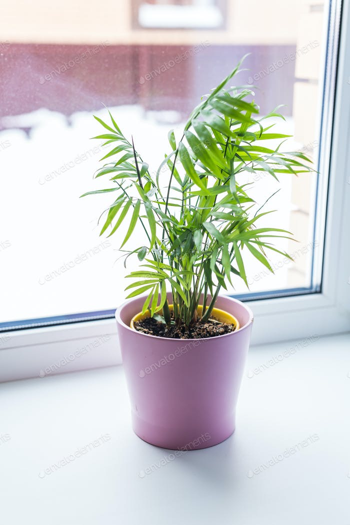 Beautiful green plant in ceramic pot standing on window sill. Houseplants and interior home.