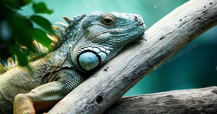 Green Iguana on branch