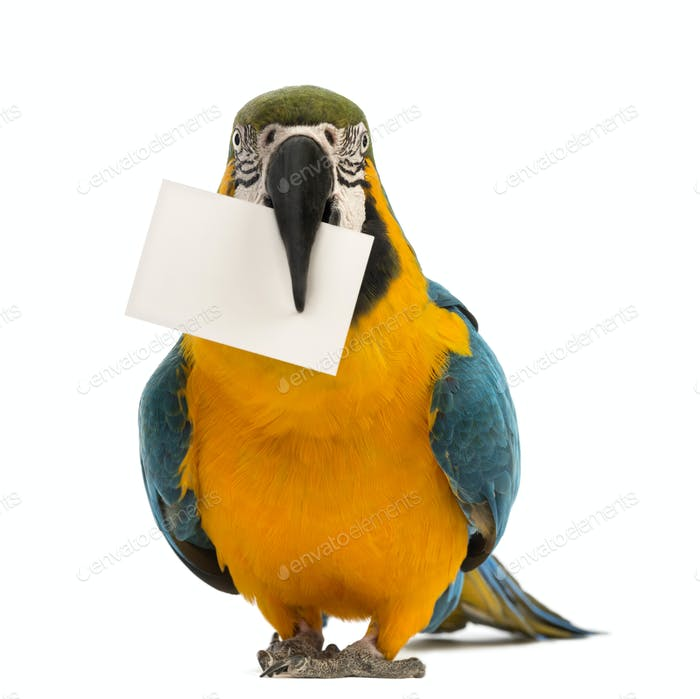 Blue-and-yellow Macaw, Ara ararauna, 30 years old, holding a white card