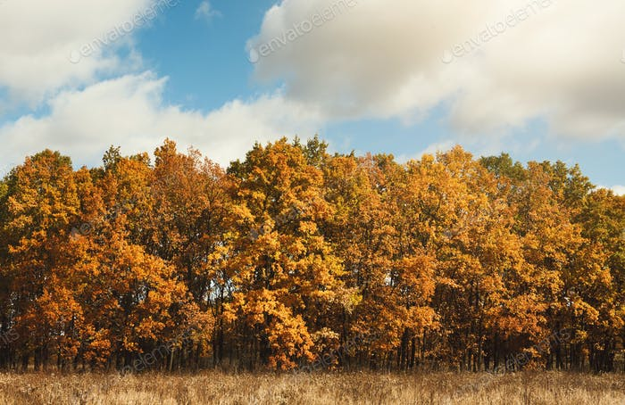 Fall landscape. Yellow trees and bushes against blue sky