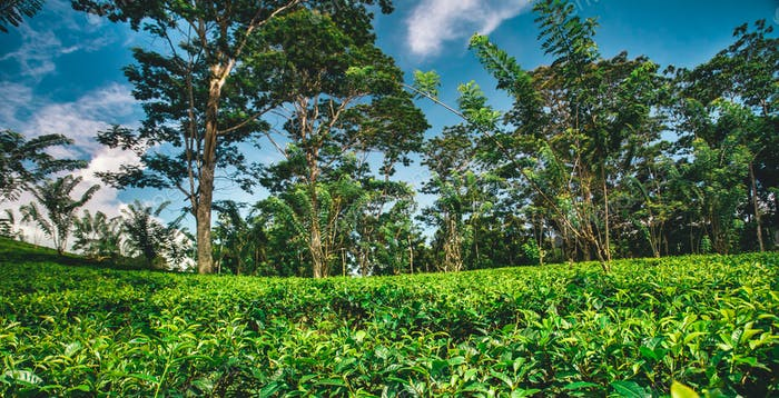 Tea plantation surrounded by the tropical forest