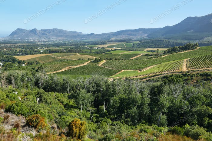 Vineyards landscape in Constantia valley