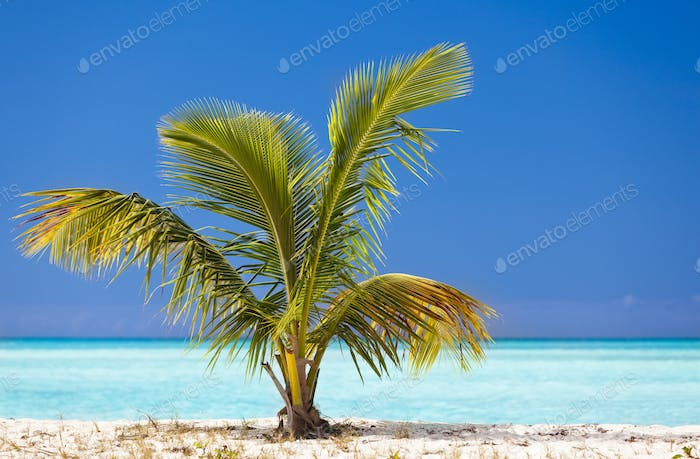 Young Palm Tree On Caribbean Beach, Antigua