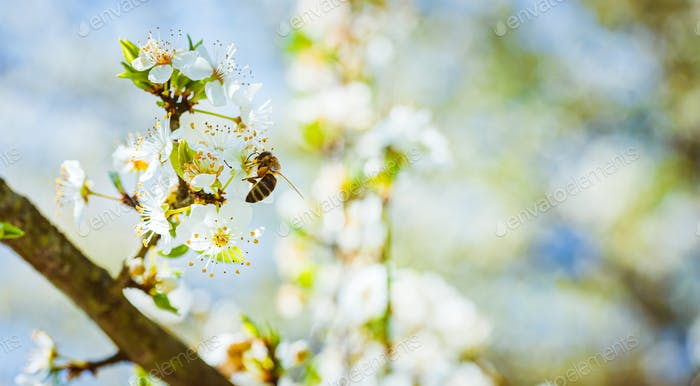 Closeup of a Honey Bee gathering nectar and spreading pollen on white flowers on cherry tree.