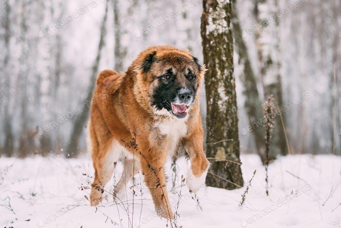 Caucasian Shepherd Dog Running Outdoor In Snowy Forest At Winter