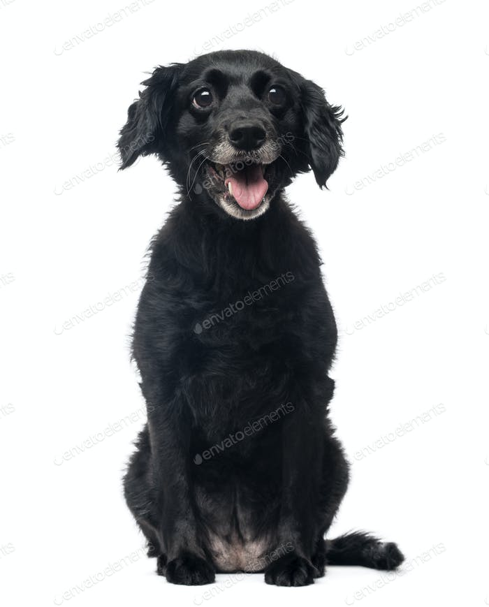 Front view of a cheerful Crossbreed dog sitting, panting, 11 years old, isolated on white
