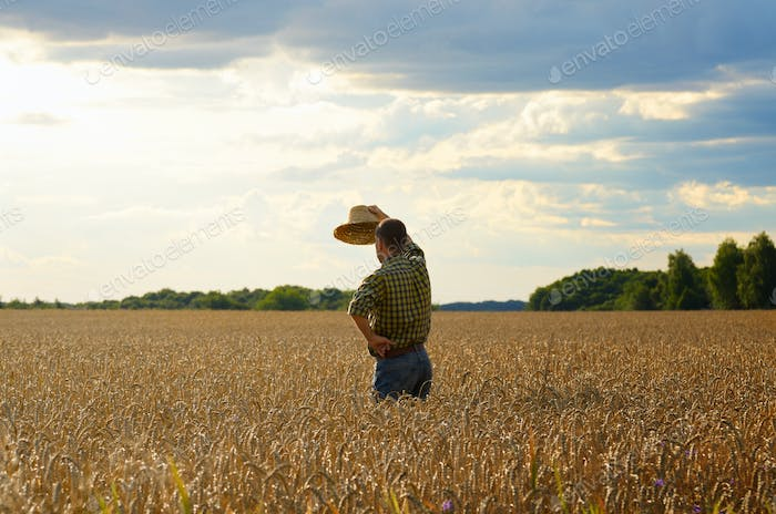 Farmer in straw hat stands at harvest ready wheat field