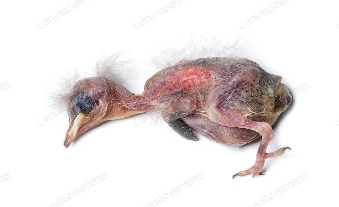 Dead housse sparrow chick
