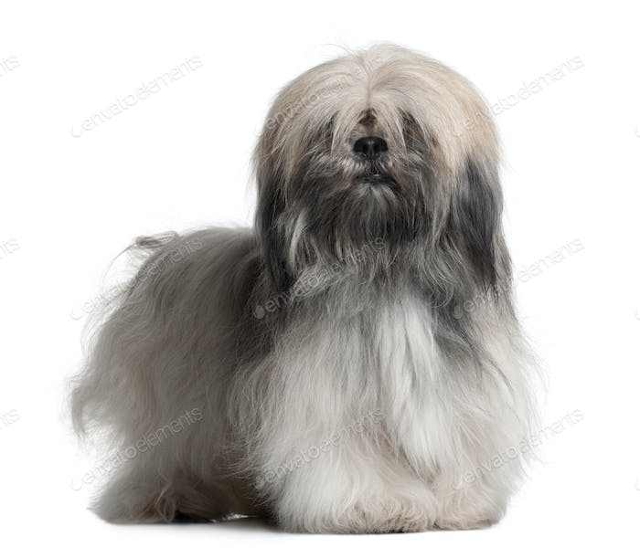 Lhassa Apso, 18 Months Old, in front of white background
