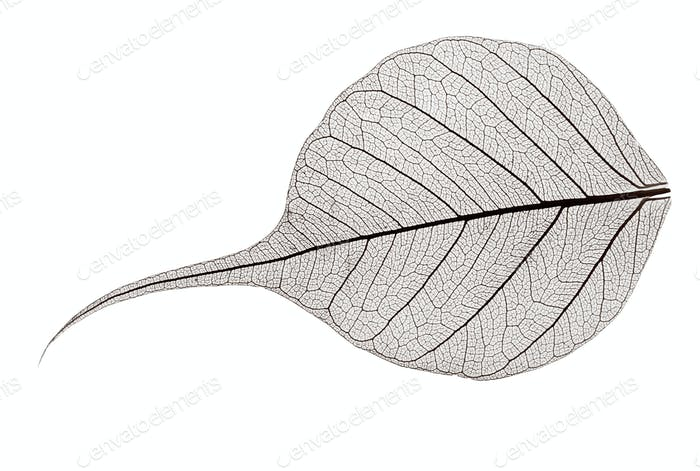 small grey transparent dried fallen leaf
