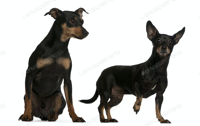 Miniature Pinscher, 7  years old, and German Pinscher, 4 years old, in front of white background