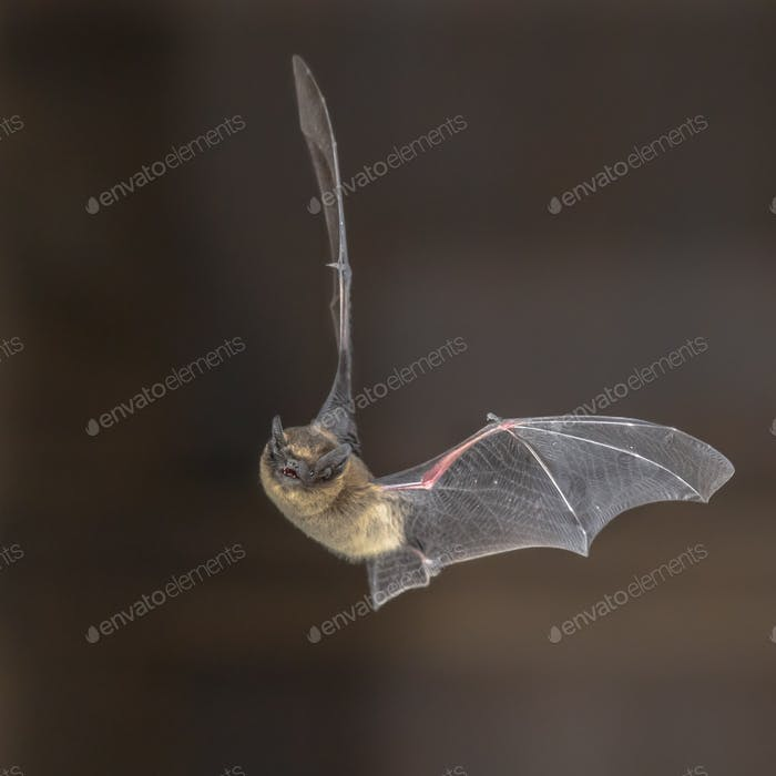 Pipistrelle bat in flight