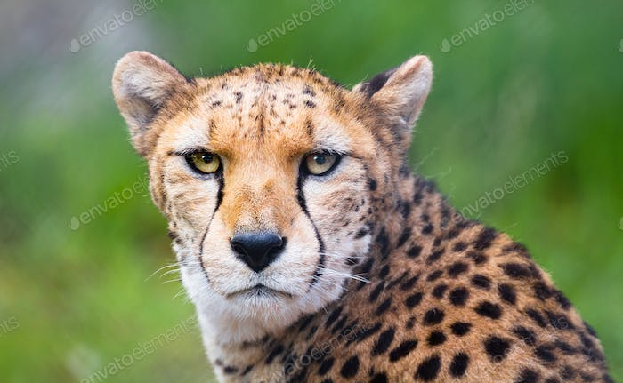 North African Cheetah Looking at the Camera
