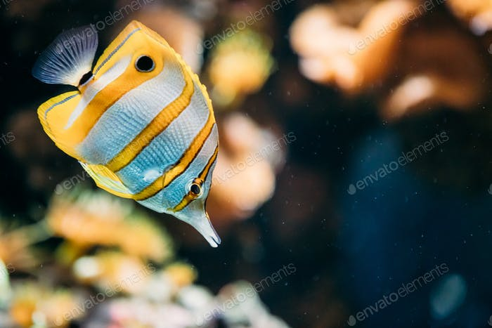 Copperband Butterflyfish Or Beaked Coral Fish Chelmon Rostratus