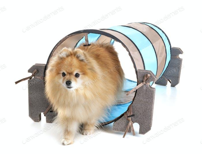 little dog and agility