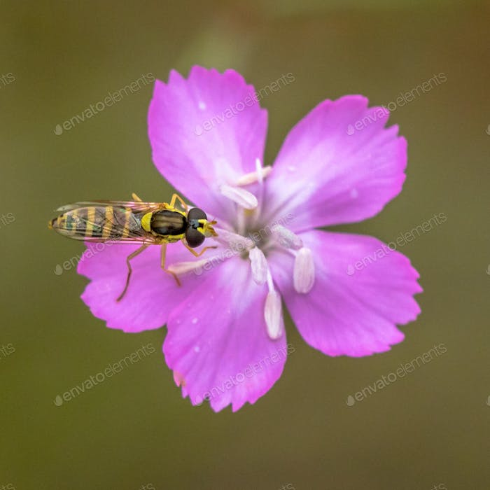Maiden pink flower with hoverfly