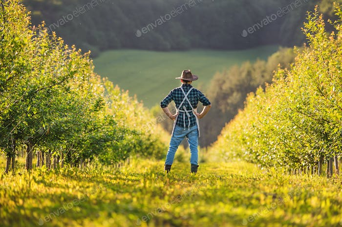 A rear view of mature farmer standing in orchard at sunset. Copy space