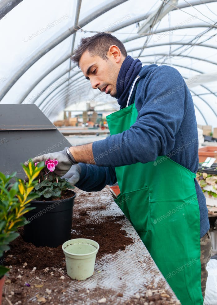Gardener in a greenhouse transplant cyclamens for sale.