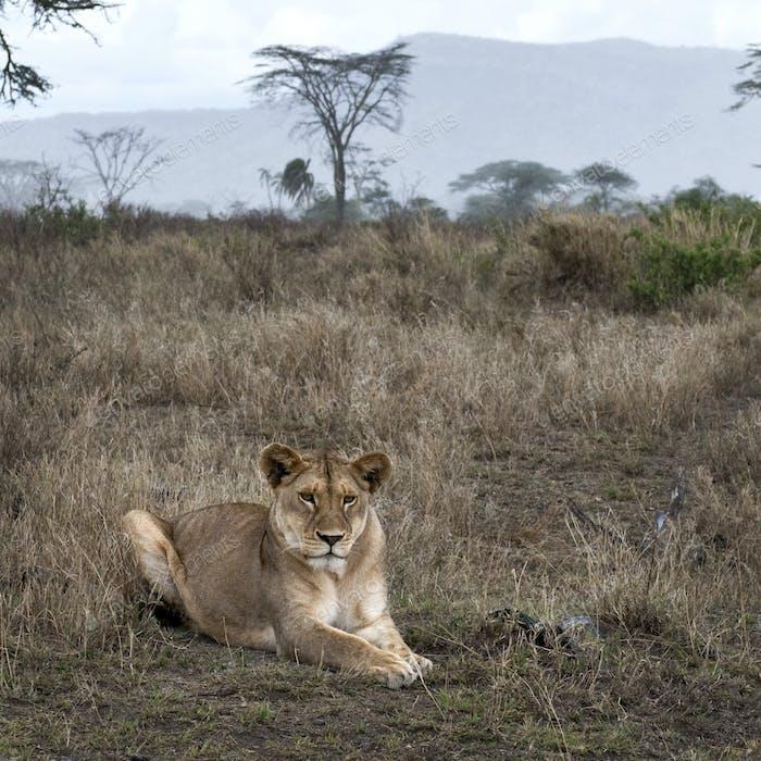 Lioness lying in bush of Serengeti, Tanzania, Africa