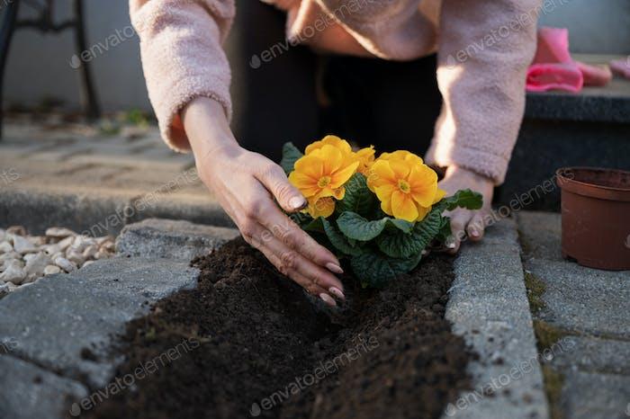 Planting beautiful yellow flower