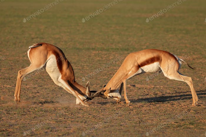 Fighting Springbok antelopes