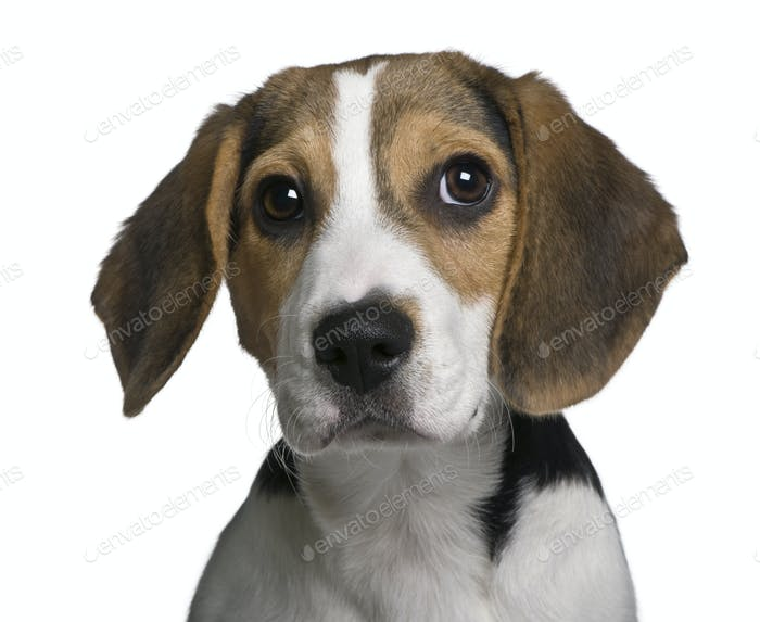 Beagle puppy, 4 months old, in front of white background