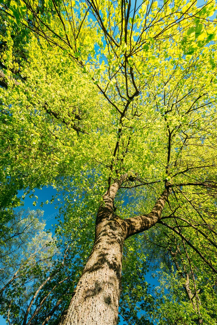 Spring Canopy Of Tree. Deciduous Forest, Summer Nature At Sunny