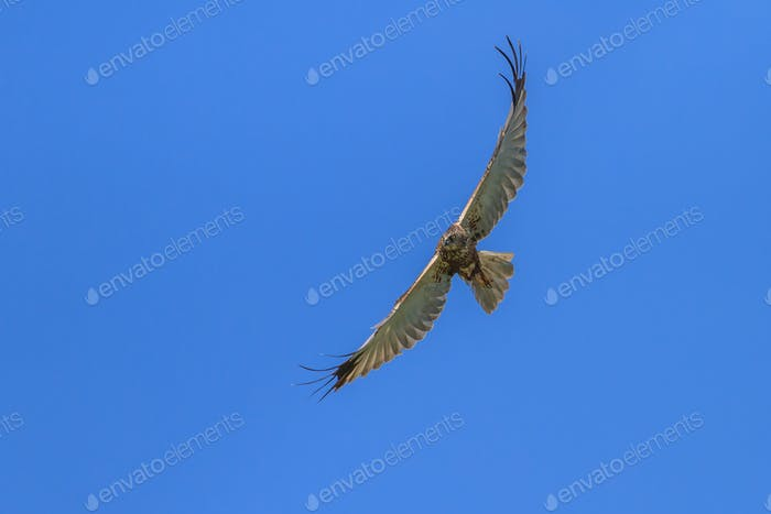 Common Buzzard (Buteo buteo)