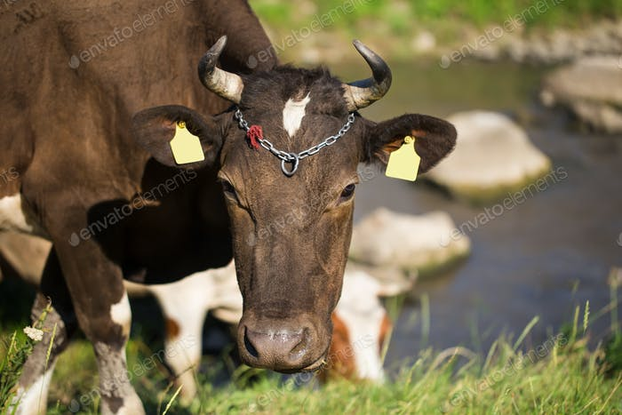 Brown dairy cow on a summer pasture.