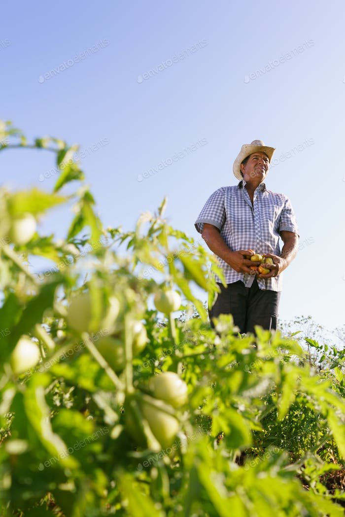 Portrait Man Farmer Harvesting Tomato Field Looking Away