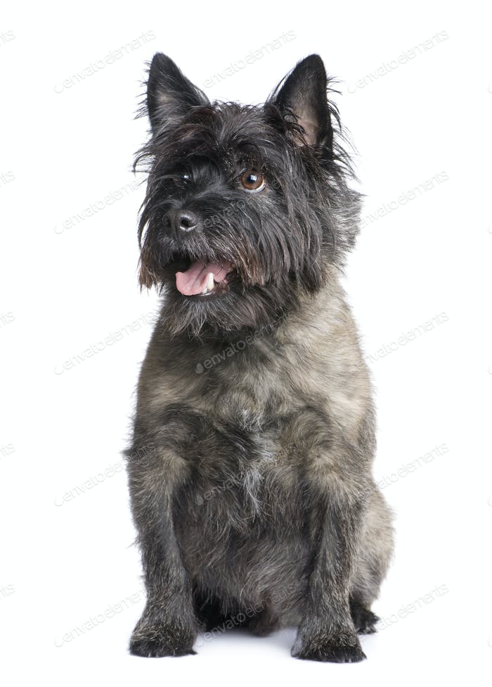 Cairn Terrier (8 years)