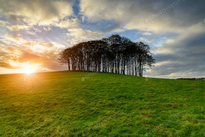 Sunset over a stand of Beech trees