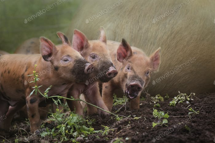 Composite of three little red piglets with muddy noses