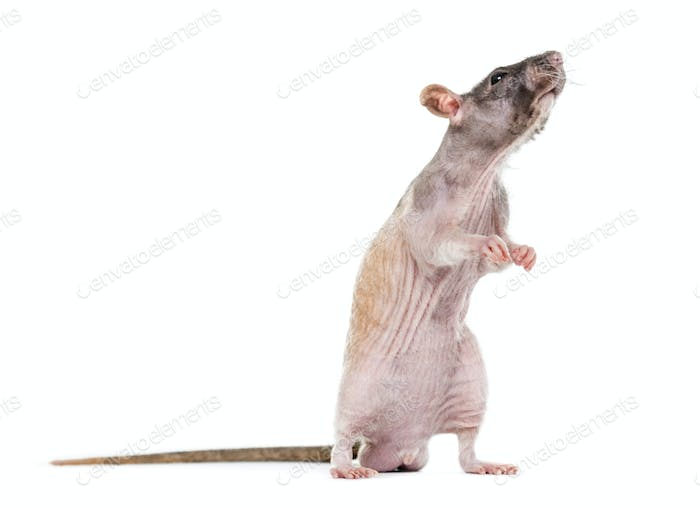 rat on hind legs sniffing, isolated on white