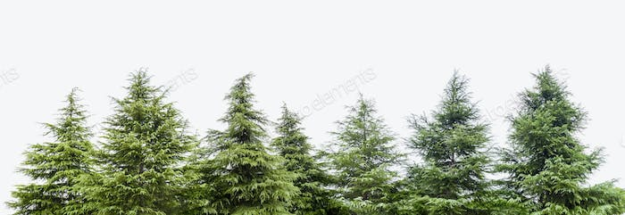 a row of cedar trees isolated on white background