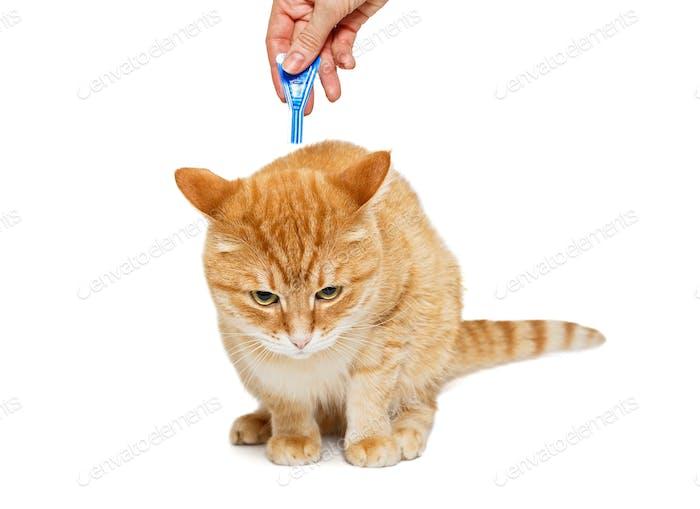 Behandlung von Katze für Flöhe und Zecken