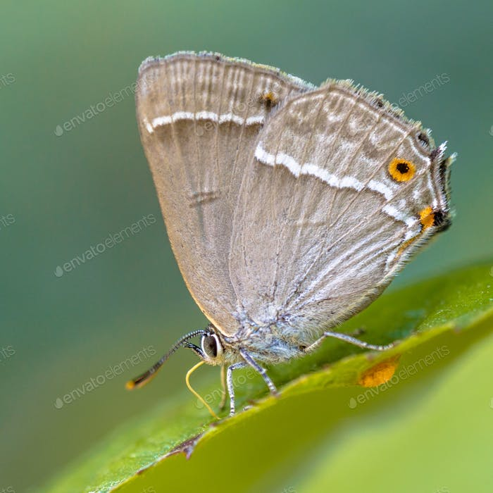 Purple hairstreak butterfly close up