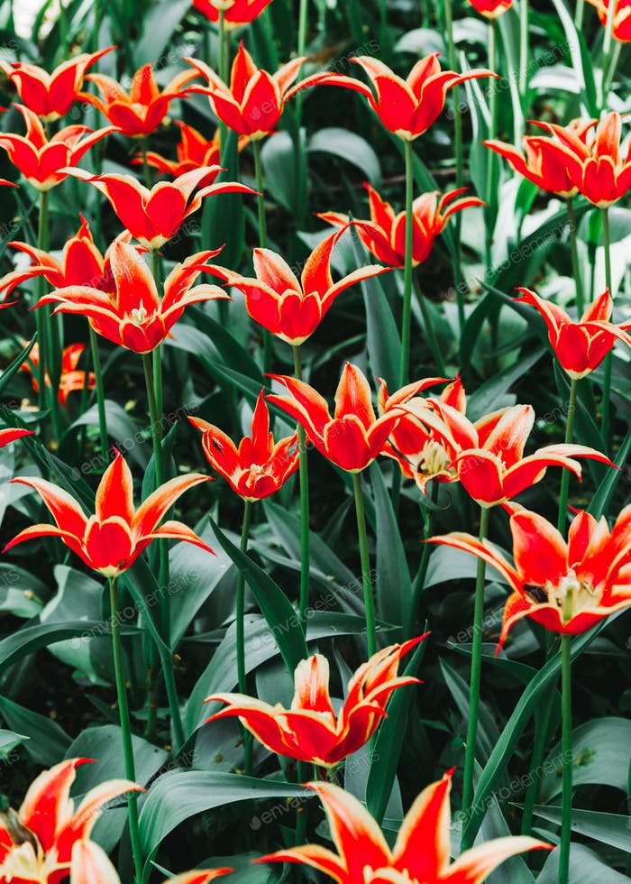 Full frame red lilies spring background in a garden. The concept blooming of nature.