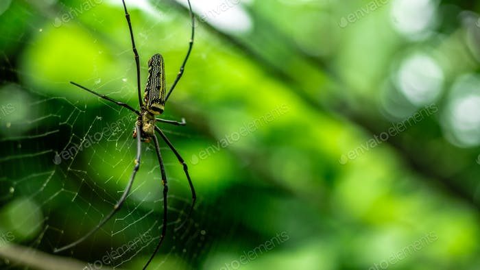female Golden Web Spider Nephila pilipes