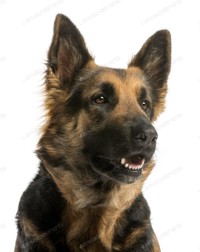 Close-up of a German shepherd looking away with open mouth, 4 years old, isolated on white