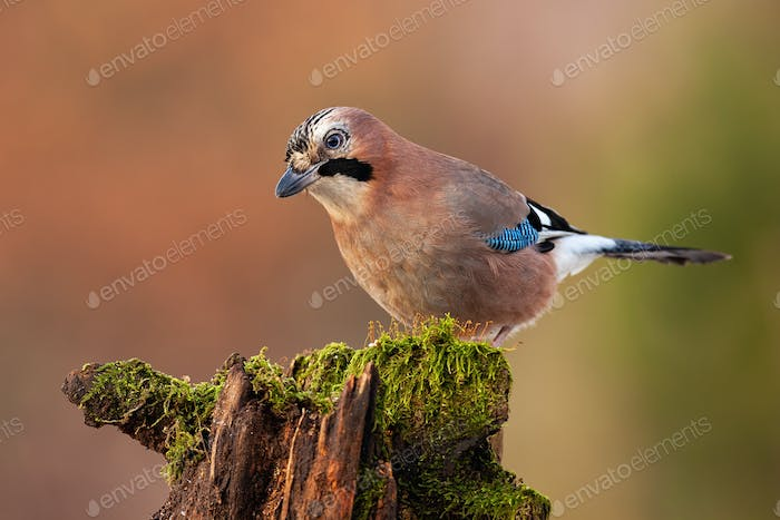 Eurasian jay, garrulus glandarius, looking and sitting on a trunk in nature
