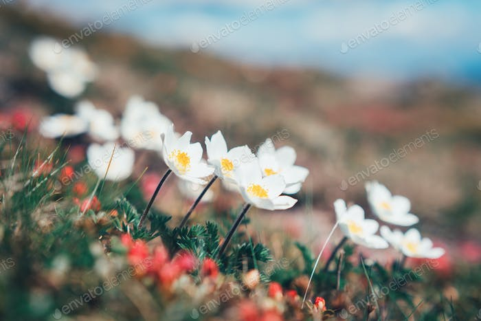 Beauty white flowers in high mountains