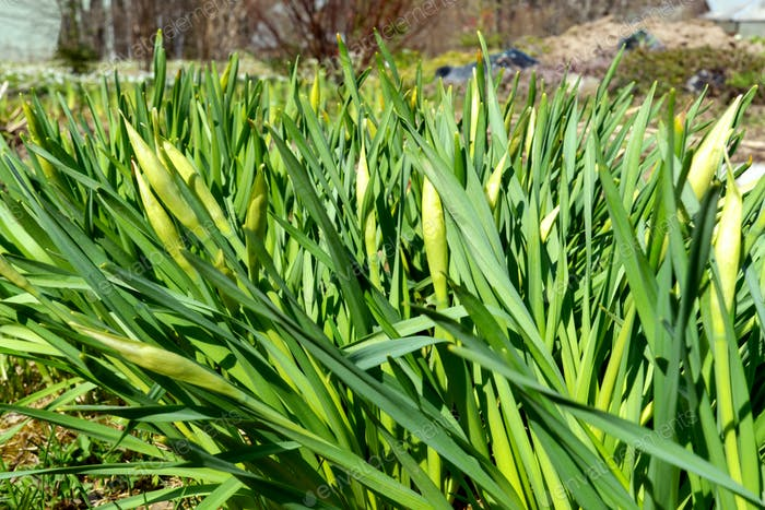green onions in the garden