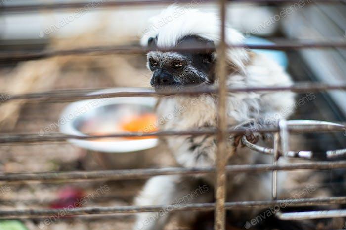 Monkey Tamarin Pinc (Saguinus oedipus) in cage