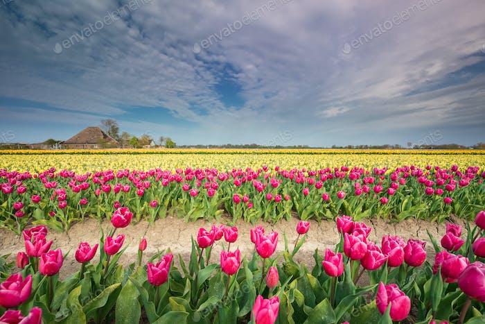 colorful tulip field on Dutch farmland