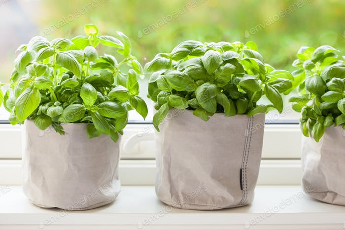 fresh basil herb in paper pot on window