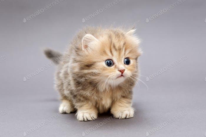 Small shaggy kitten