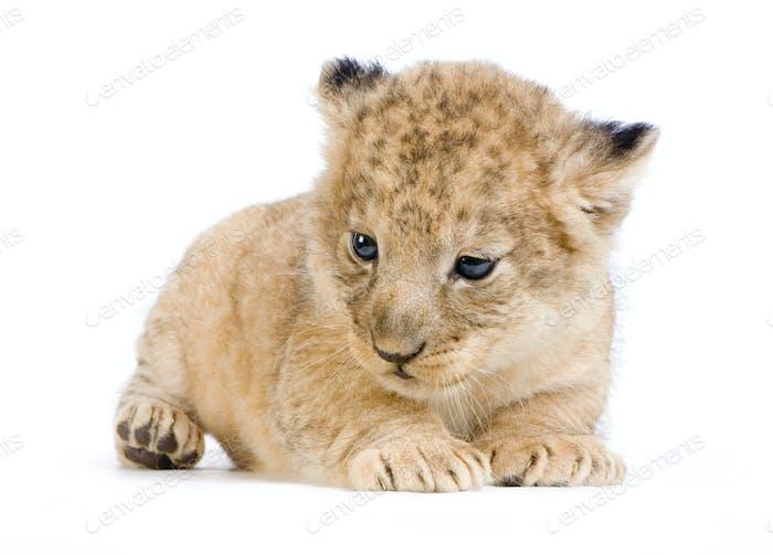 Löwenjunges liegend