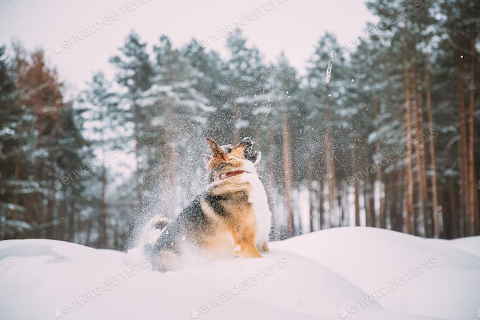 Funny Dog Playing In Snowy Forest In Winter Evening. Deep Snowdrift